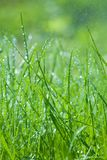Spring green grass with dew drops Stock Images