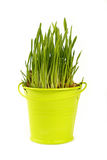 Spring green grass growing in bucket over white Stock Photo