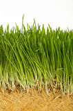 Spring green grass growing close up over white. Spring fresh green grass growth structure with roots, close up over white background, low angle view Royalty Free Stock Images