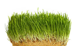 Spring green grass growing close up over white. Spring fresh green grass growth structure with roots, close up over white background, low angle view Stock Photo