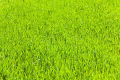 Spring green grass (nature background) Royalty Free Stock Photos