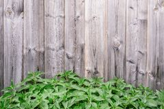Spring green grass over wood fence background - Image. Spring green grass over wood fence texture background - Image. young nettle plant grows near the wooden stock image