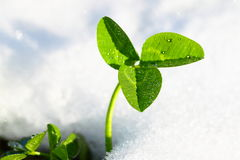 Spring green grass in snow Royalty Free Stock Photography