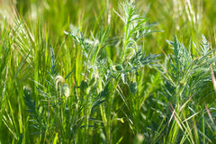 Spring green grass with spikelets and poppy buds Stock Photo