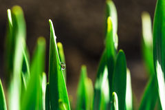 Spring green grass in the sunshine with a drop of dew. Abstract natural background. Stock Images