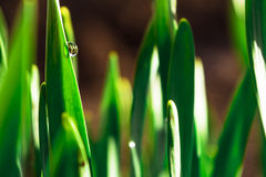 Spring green grass in the sunshine with a drop of dew. Abstract natural background. Royalty Free Stock Images