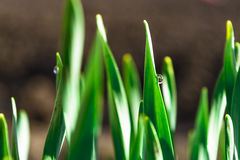 Spring green grass in the sunshine with a drop of dew. Abstract natural background. Royalty Free Stock Image