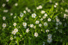 Spring green grass texture with white flowers closeup Stock Images