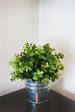 Spring green home plant in a metal pot on a corner Royalty Free Stock Photography