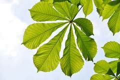 Spring green horse chestnut leaves over blue sky Stock Photography