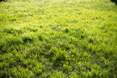 Spring green lawn in the morning sun. Royalty Free Stock Photo