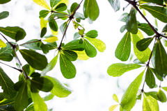 Spring green leaf background with rain drops-Terminalia ivorensi Stock Photo
