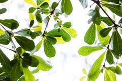 Spring green leaf background with rain drops-Terminalia ivorensi Stock Photo
