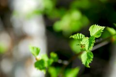 Spring green leaves Stock Image