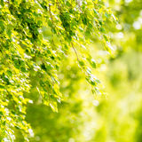 Spring green leaves of birch tree Royalty Free Stock Photos