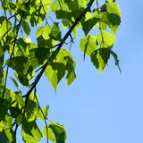 Spring. Green leaves and sky Royalty Free Stock Image