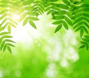Spring green leaves of tree Royalty Free Stock Photo