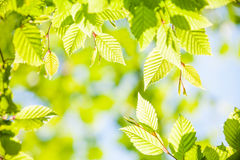 Spring green leaves Royalty Free Stock Photo