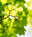 Spring Green Maple Leaves Over Blurred Background Royalty Free Stock Image