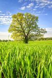 Spring green meadow with big tree on bright sunny day. Spring landscape of green nature. Scenery summer field with grass.  Royalty Free Stock Photography