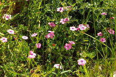 Spring green meadow with pink flowers. Mountains in spring Stock Photo