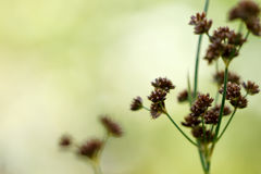 Spring green meadow template. Irisleaf rush (Juncus xiphioides) closeup with space for text against a spring green background Royalty Free Stock Photo