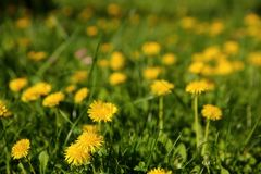 Dandelion is one of the most beautiful wild herbs that bloom in early spring. stock photography
