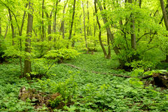 Spring green in mixed forest. With European beech and European hornbeam Royalty Free Stock Photography