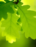 Spring Green Oak Leaves Over Blurred Background Royalty Free Stock Photos