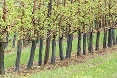 Spring green orchard Royalty Free Stock Images