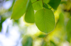 Spring Green Pear Leaves on Bright Blurred Background Royalty Free Stock Photo