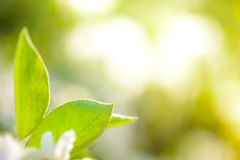 Spring Green Pear Leaves on Bright Blurred Background Stock Photography