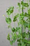Spring Green Peas Growing Closeup Vertical Royalty Free Stock Photos