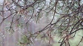 Spring green prickly pine branch with raindrops. stock video