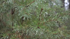 Spring green prickly pine branch with raindrops. stock video footage