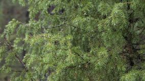 Spring green prickly pine branch with raindrops. stock footage