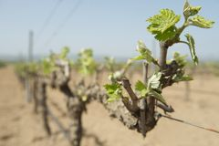 Spring green shoots on mature grape vines, Spain Stock Photo