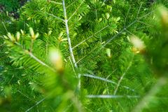 Spring Green Spruce Branches Royalty Free Stock Image
