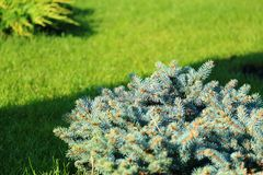 Spring green summer background. Lawn with lush grass and conifer Royalty Free Stock Photo