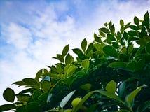 Spring green tree leaves against blue sky Stock Image