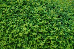 A green wall, a carpet of thousands of tiny, newly developed leaves. Spring stock images