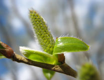 Spring. Green willow catkin close-up Stock Photography
