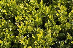 Spring Greenery. Bright spring greenery on a mature bush Royalty Free Stock Photo