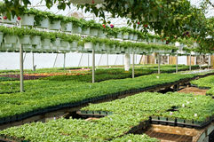 Spring greenhouse nursery. A view of fresh, new spring seedlings and hanging plants growing in a nursery greenhouse Royalty Free Stock Photos