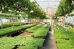 Spring greenhouse nursery. A view of fresh, new spring seedlings growing in a nursery greenhouse Stock Images