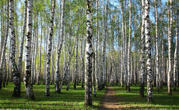 Spring greens in the evening birch grove Stock Images