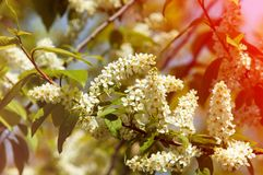 Spring greeting card, blossom bird cherry. Close-up of a turtle. Branch, brightly lit against the sky. Flowering bird-cherry tree . bird cherry flowers in sunny Royalty Free Stock Image