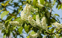 Spring greeting card, blossom bird cherry. Close-up of a turtle. Branch, brightly lit against the sky. Flowering bird-cherry tree . bird cherry flowers in sunny Royalty Free Stock Photo