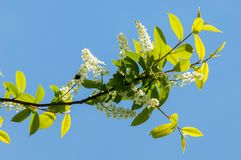 Spring greeting card, blossom bird cherry. Close-up of a turtle. Branch, brightly lit against the sky. Flowering bird-cherry tree . bird cherry flowers in sunny Stock Photo