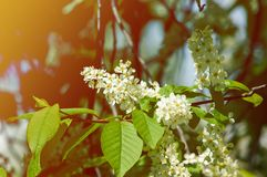 Spring greeting card, blossom bird cherry. Close-up of a turtle. Branch, brightly lit against the sky. Flowering bird-cherry tree . bird cherry flowers in sunny Royalty Free Stock Photography